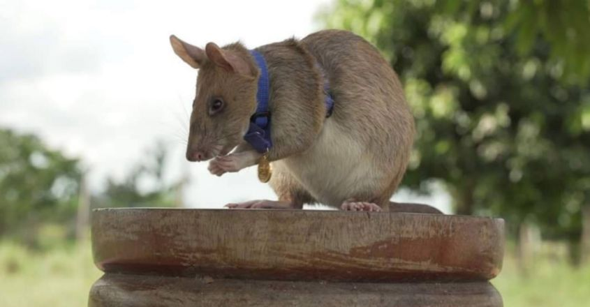 'Hero rat' Magawa retires from Cambodian bomb sniffing career