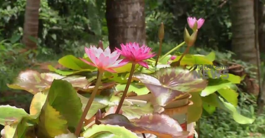 Cultivation of lotus in terrace and garden