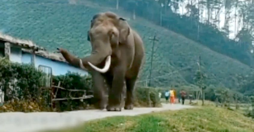 Meet Padayappa, Munnar's Jumbo Resident Who Has Proven That Humans & Animals Can Exist In Peace
