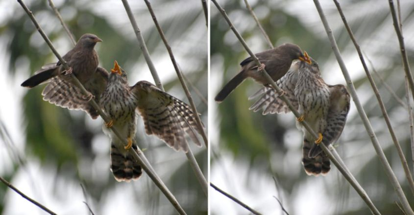 Taking over the nest: when parasite cuckoo chicks are brought up by cavity nesting hosts