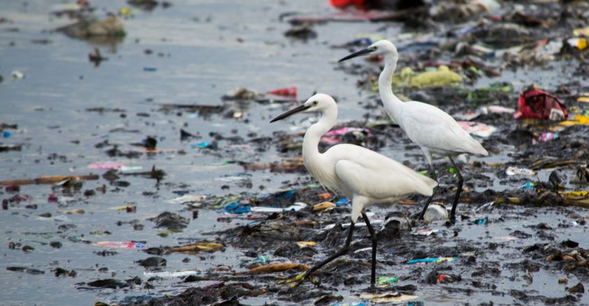 Little Egrets in the midst of assorted plastic and rubber waste