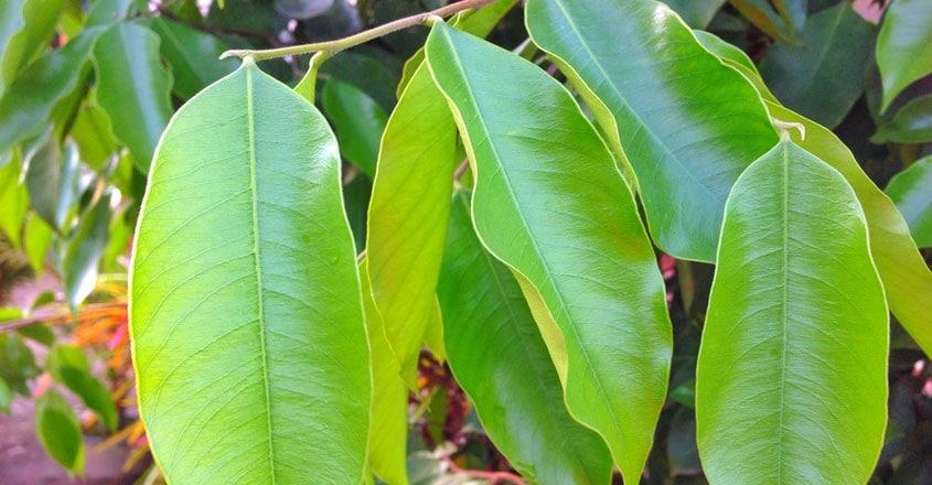 perfume tree agarwood
