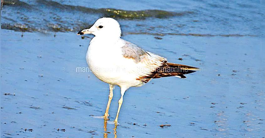 migratory bird spotted in Ponnani