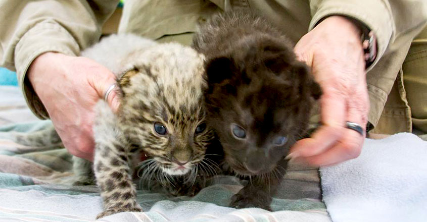 Critically Endangered Leopards Born At Connecticut Zoo