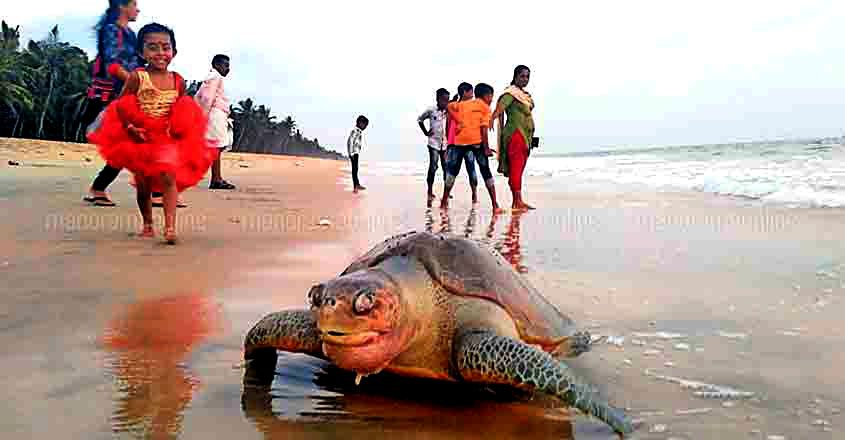 Dead Olive Ridley