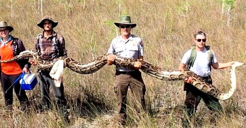 Python Caught in The Florida Everglades