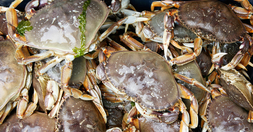 Pacific Dungeness Crabs