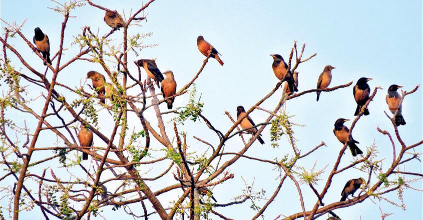 Myna Birds in kochi