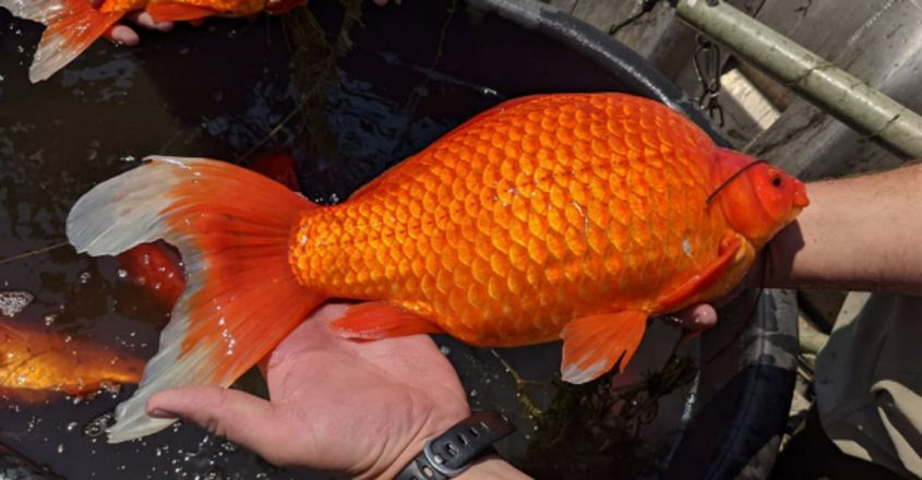 Football-sized goldfish take over lake after people dump them in wild