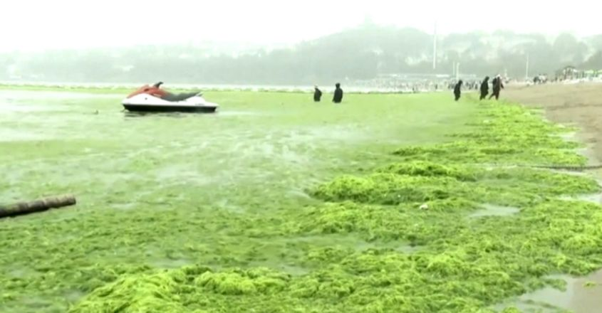 Record algal green tide swamps Chinese port city of Qingdao
