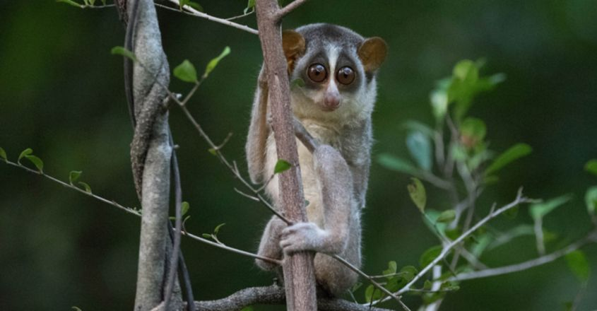 A Particular Primate: Saving the Rare and Ancient Slender Loris