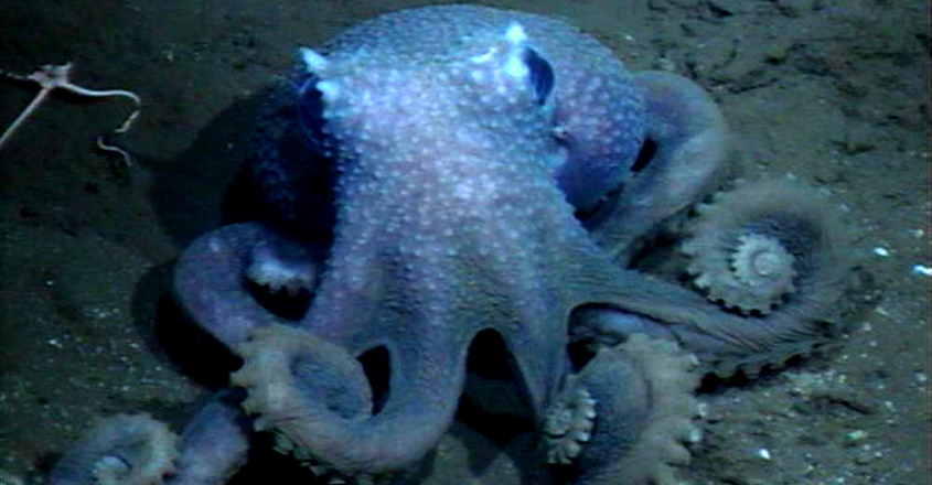 Octopuses Get Wartier The Deeper They Live In The Ocean