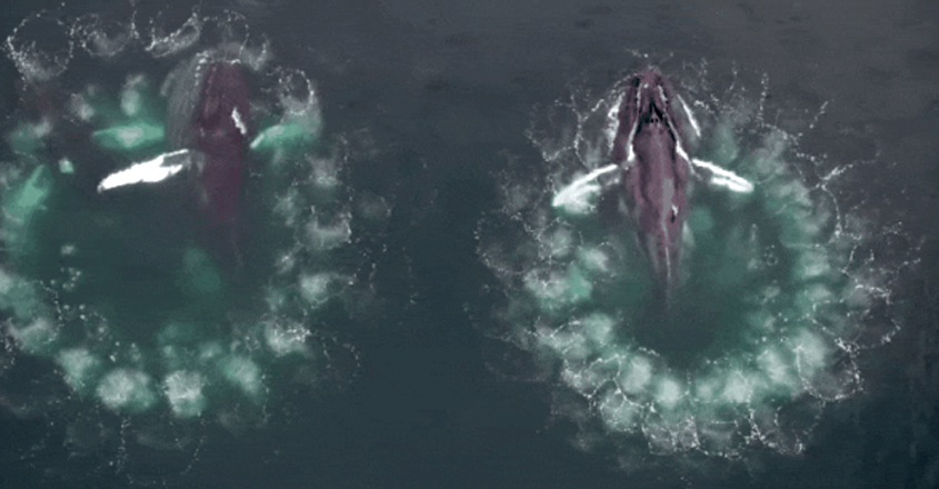 Whales Using Bubble Nets to Hunt