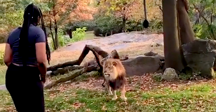Woman Jumped A Fence And Danced In Front Of A Lion At A Zoo