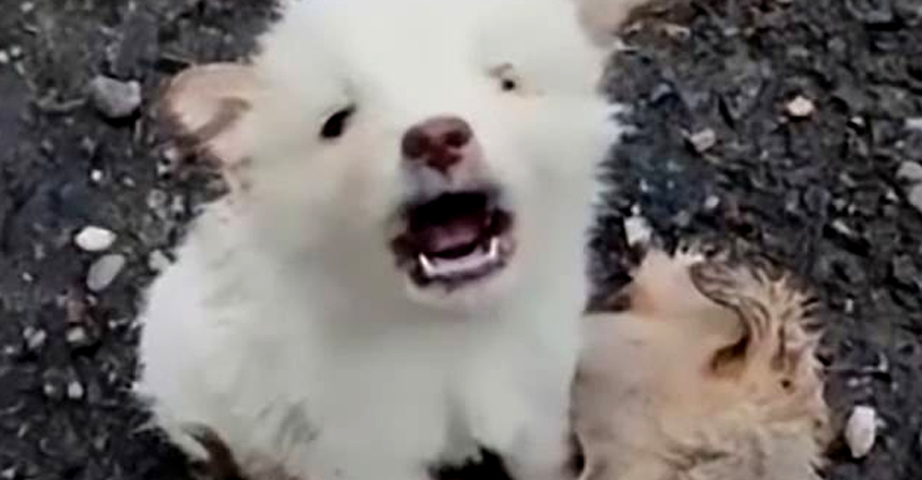 Stray puppy cries in anguish as it refuses to leave the dead body of friend