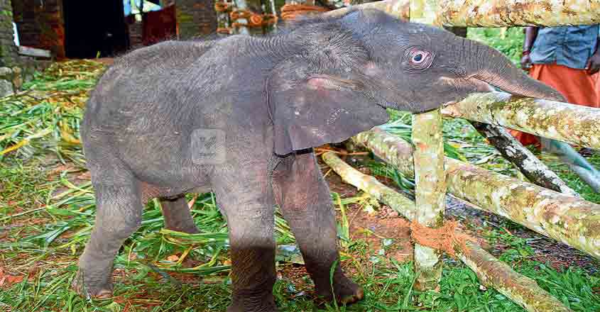 Elephant calf, separated from herd, shifted to kottoor