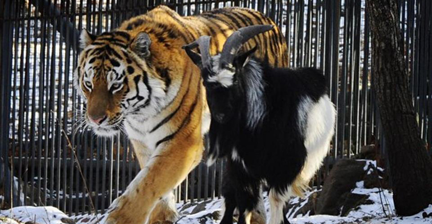 Brave Goat Who Had Befriended Tiger