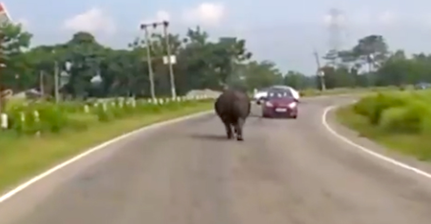 Rhino Struggles To Walk On A Road In The Midst Of Oncoming Traffic