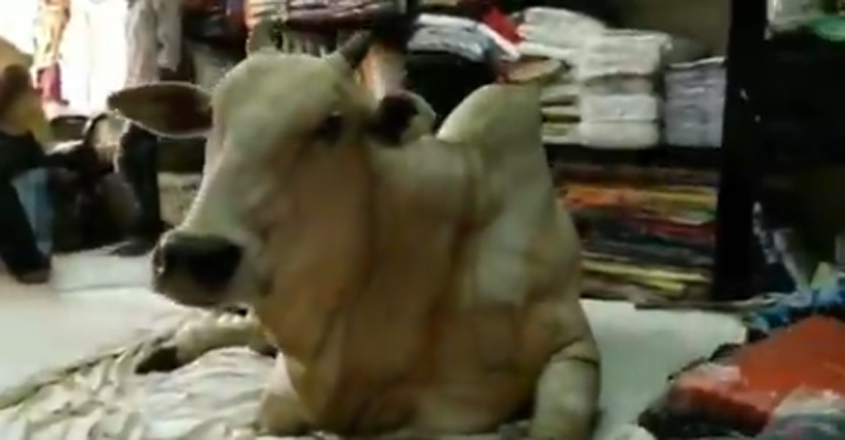 Cow visits garment store in Kadapa every day