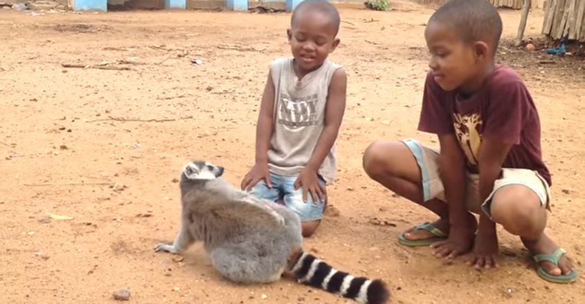 Ring-tailed lemur demands back scratches