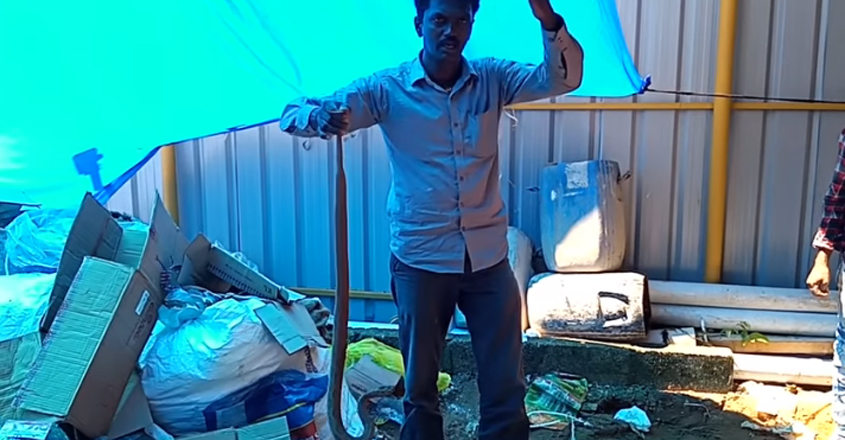 Vava Suresh Caught 2 Viper Snakes from same place