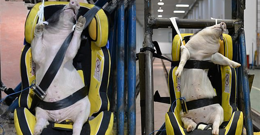 Pigs used as live crash-test dummies in China