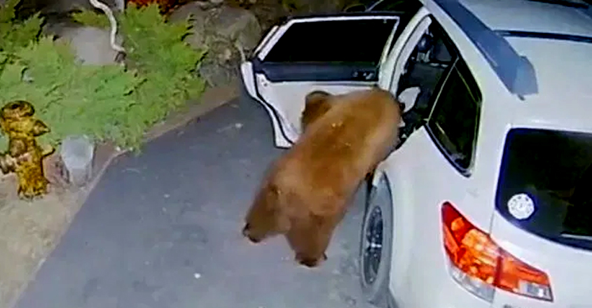Bear opens car door and climbs inside