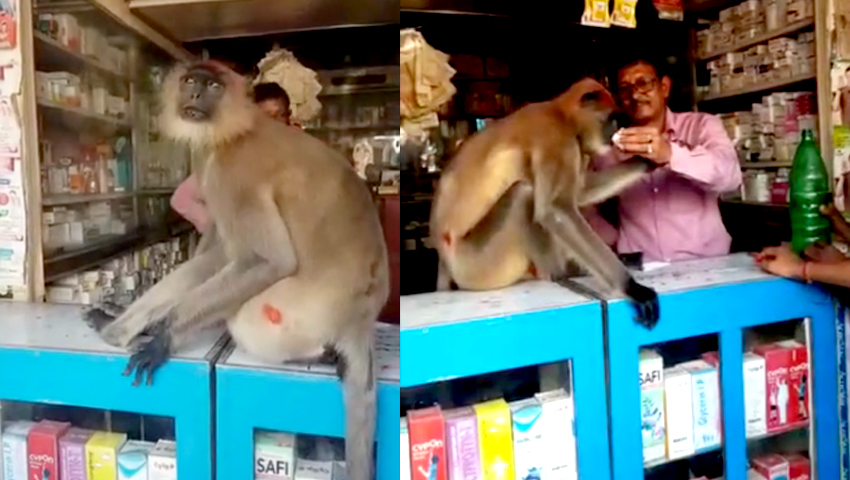 Injured monkey comes into medicine store