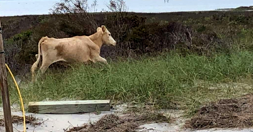 Tides Swept Three Cows Out To Sea During Hurricane Dorian
