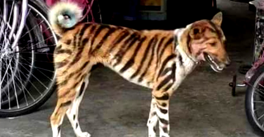 Farmer Paints Dog to Look Like Tiger to Scare Away Raiding Monkeys in Karnataka