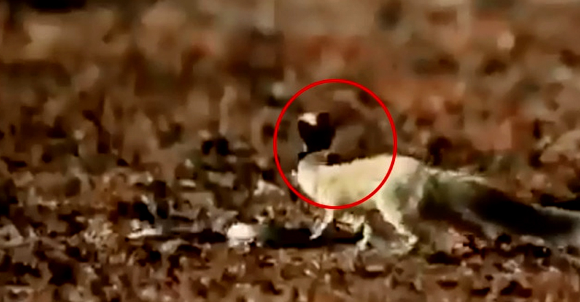 Mongoose Escapes Deadly Cobra Strike In The Nick Of Time
