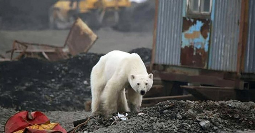 The Starving Polar Found In Siberian Town back to normal