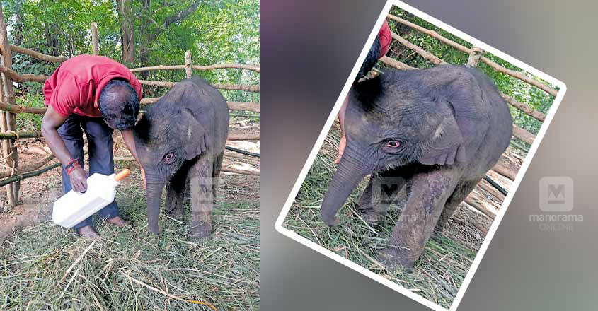 one month old elephant calf separated from its herd