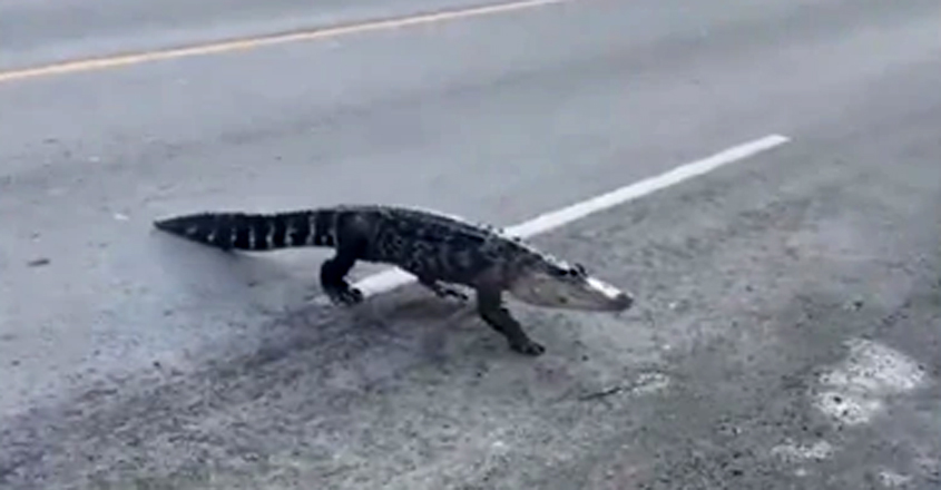 Drivers Slow Down As Escaped Alligator Calmly Crosses Road