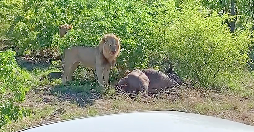 Lion Gives Pregnant Buffalo a C-Section