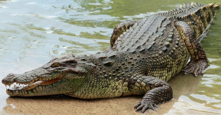 12-Foot Crocodile Rescued In Vadodara