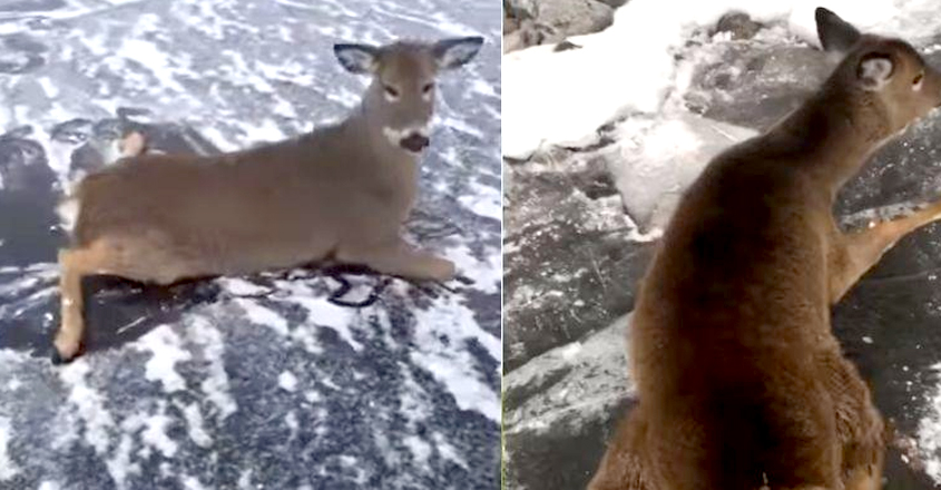 Ice Skater Risks Life to Save a Family of Deer Stuck in Frozen Lake in Canada