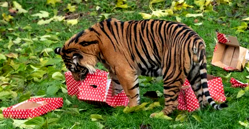 Animals at London Zoo open their Christmas Presents