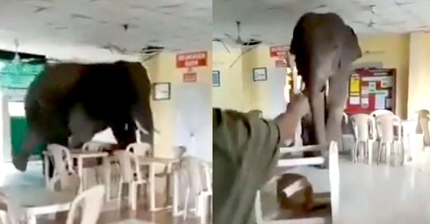 Elephant Casually Strolls into Bengal Army Canteen
