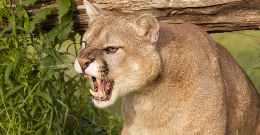 Woman 'Punches' and Mountain Lion