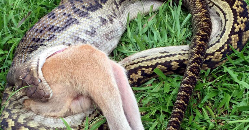 Python Devours Wallaby