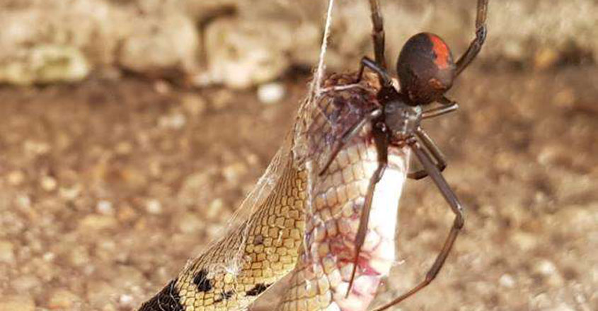 Venomous Redback Spider Chowing Down On A Deadly Snake