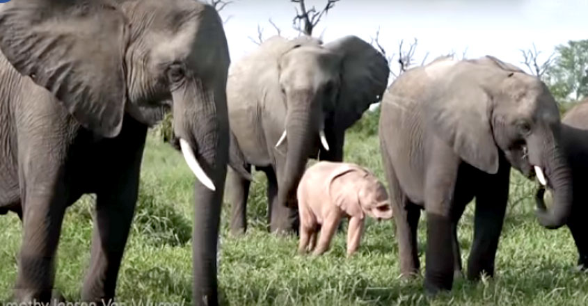 Rare baby pink elephant spotted in South Africa