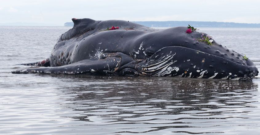 Beached humpback whale