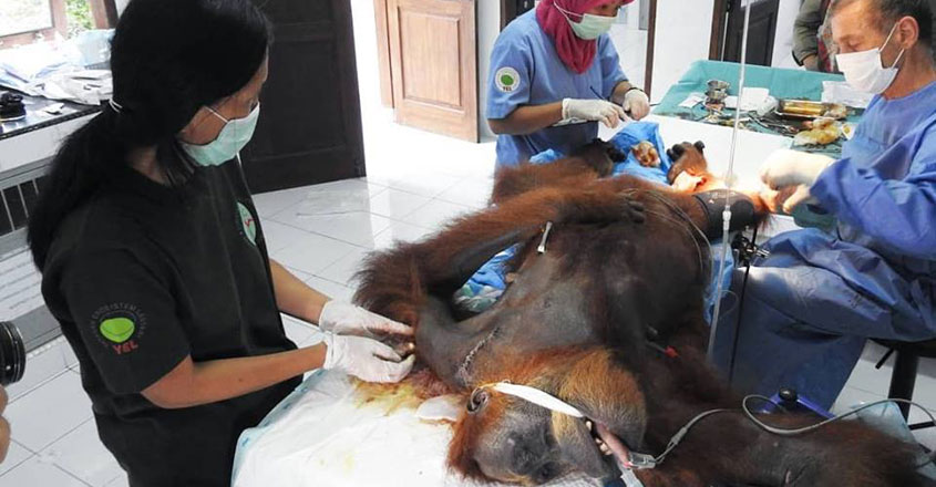 Indonesian rescuers manage to save mother orangutan hit by dozens of air rifle pellets