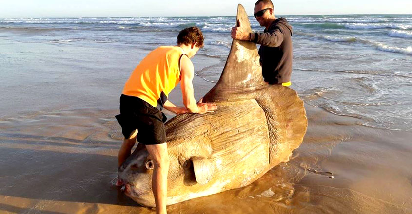 Giant sunfish washes up on a beach in Australia
