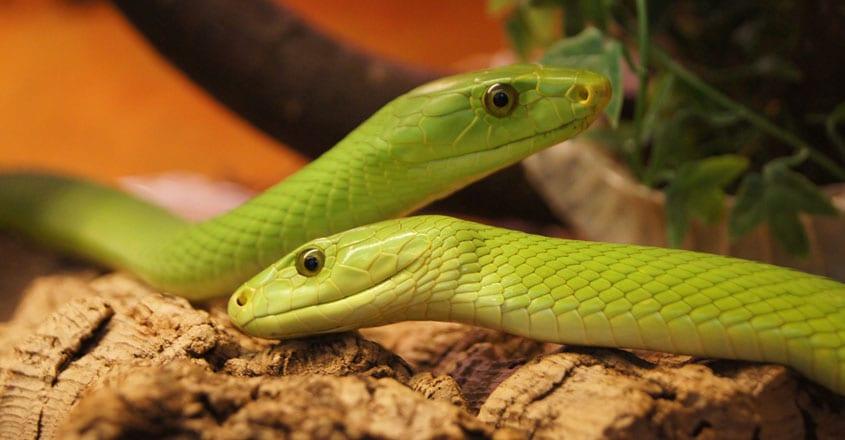 Green Mambas
