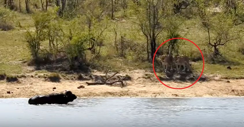 Buffalo fights off lions and croc