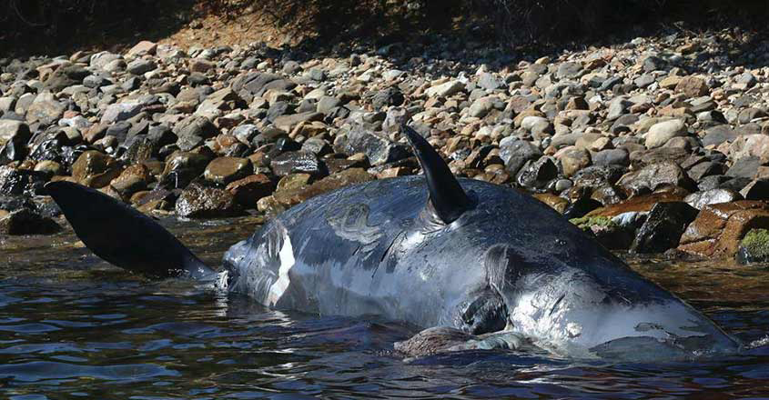 plastic-kills-sperm-whale-and-her-pup