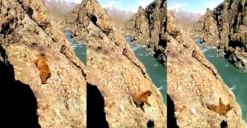 Bear falls off cliff after locals pelt it with stones in J&K's Kargil